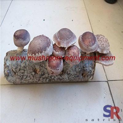 Button mushroom farming techniques Logs